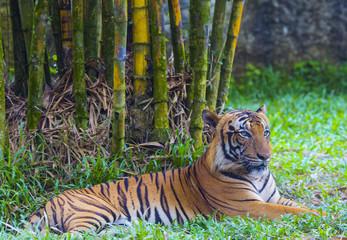 Asian tiger.