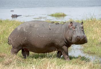 africa Botswana, hippopotamus
