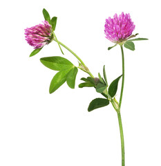 isolated pink clover flower with two blooms