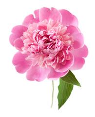 Peony flower closeup isolated on white background