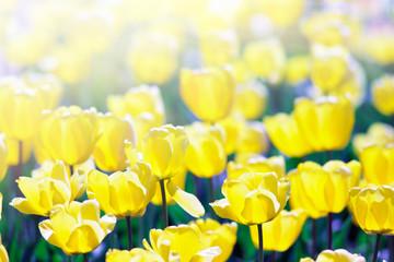Yellow tulips in spring morning sunlight.