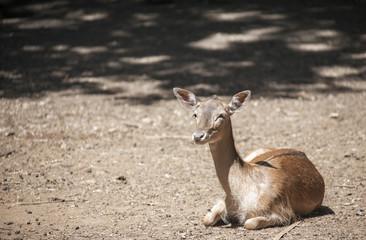 Piccolo cervo