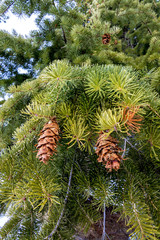 Green tree in winter with brown pine cones