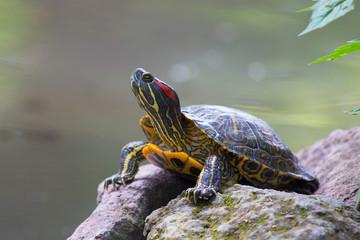 Turtle posing