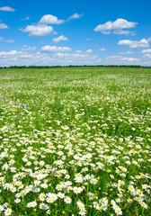 Fototapete - field of camomiles