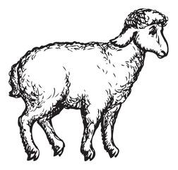 Sheep. Vector sketch