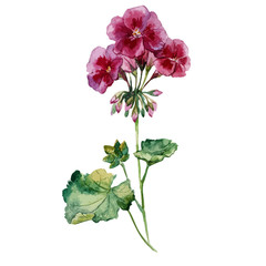 geranium, watercolor, pattern