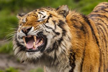 Canvas Prints Tiger Bengaalse tijger trekt gekke bek.