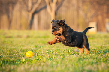 Fototapete - Rottweiler puppy playing with a ball