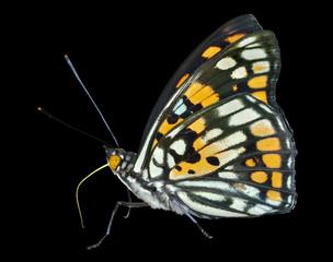 Butterfly (Sephisa dichroa) 24