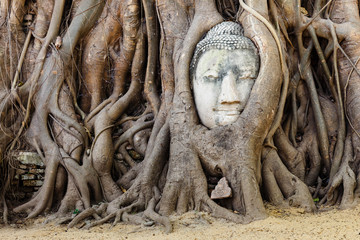 Head of sandstone buddha in tree root at wat mahathat temple, Ay