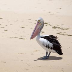Pelican in natural