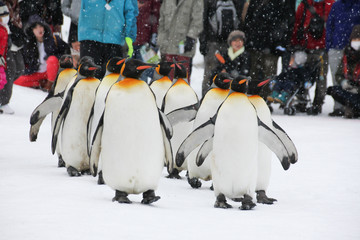 King Penguin walk for exercise