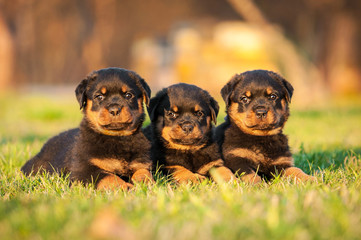 Wall Mural - Three rottweiler puppies lying on the lawn