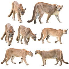 Photo sur Aluminium Puma puma or cougar isolated