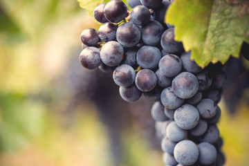 Grape macro in wineyard