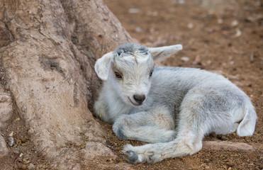 little goat lying
