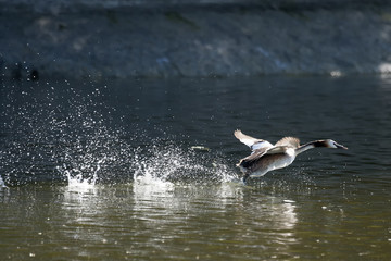 Duck in pond taking off