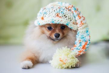 Fototapete - cute puppy Pomeranian in knitted hat