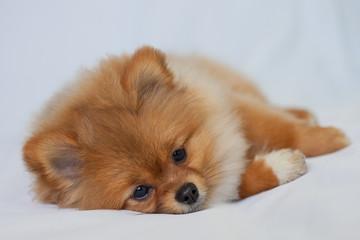 Fototapete - Cute redhead Pomeranian puppy lies on a white background
