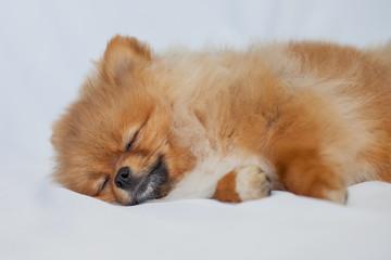Fototapete - cute puppy Pomeranian sleeping on a white background