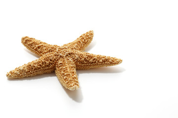 starfish on white background
