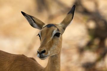 Shy female impala closeup