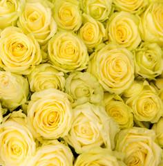 yellow rose closeup
