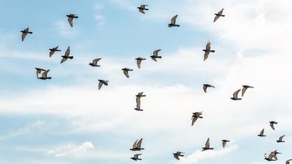 Pigeons in mid flight
