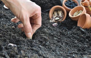 Fototapeta semis de graines de légumes obraz