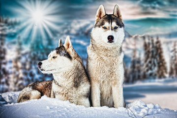 Siberian Husky in winter mountains