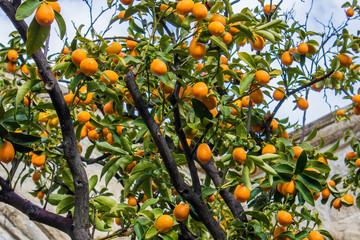 Kumquat tree