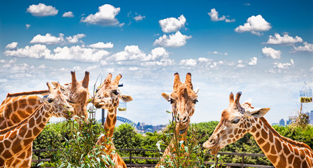 Giraffes at Taronga Zoo, Sydney. Australia.