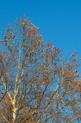 Plane tree against blue sky