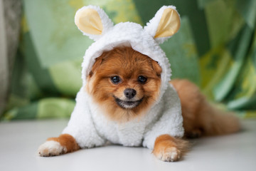 Fototapete - Funny Pomeranian puppy dressed as lamb