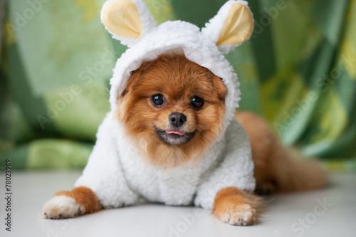 Fototapete Funny Pomeranian puppy dressed as lamb