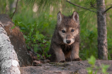 Wall Mural - Grey Wolf (Canis lupus) Pup Climbs Over Rock