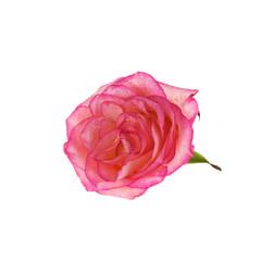 Fresh rose  isolated on white background