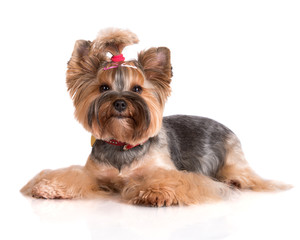 yorkshire terrier dog lying down
