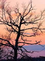 tree at sunset background