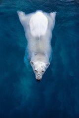 Swimming polar bear, white bear in blue water