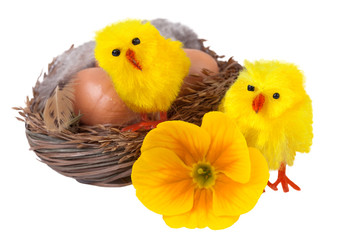 Easter nest with yellow chicks isolated on white