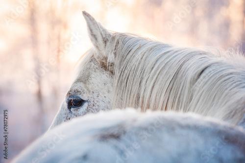Fototapete White horse looking back in winter