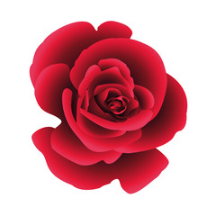 Single flower rose. Vector.