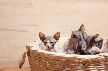 Close up Sphynx Kittens Inside a Wooden Basket