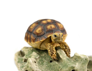 Turtle with stones isolated on white background.