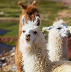 La pose en embrasure Lama Llama