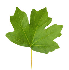maple leaf isolated on the white background