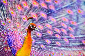 Pink Fantasy Peacock  - Close Up