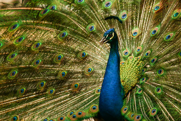 Peacock tail-feathers